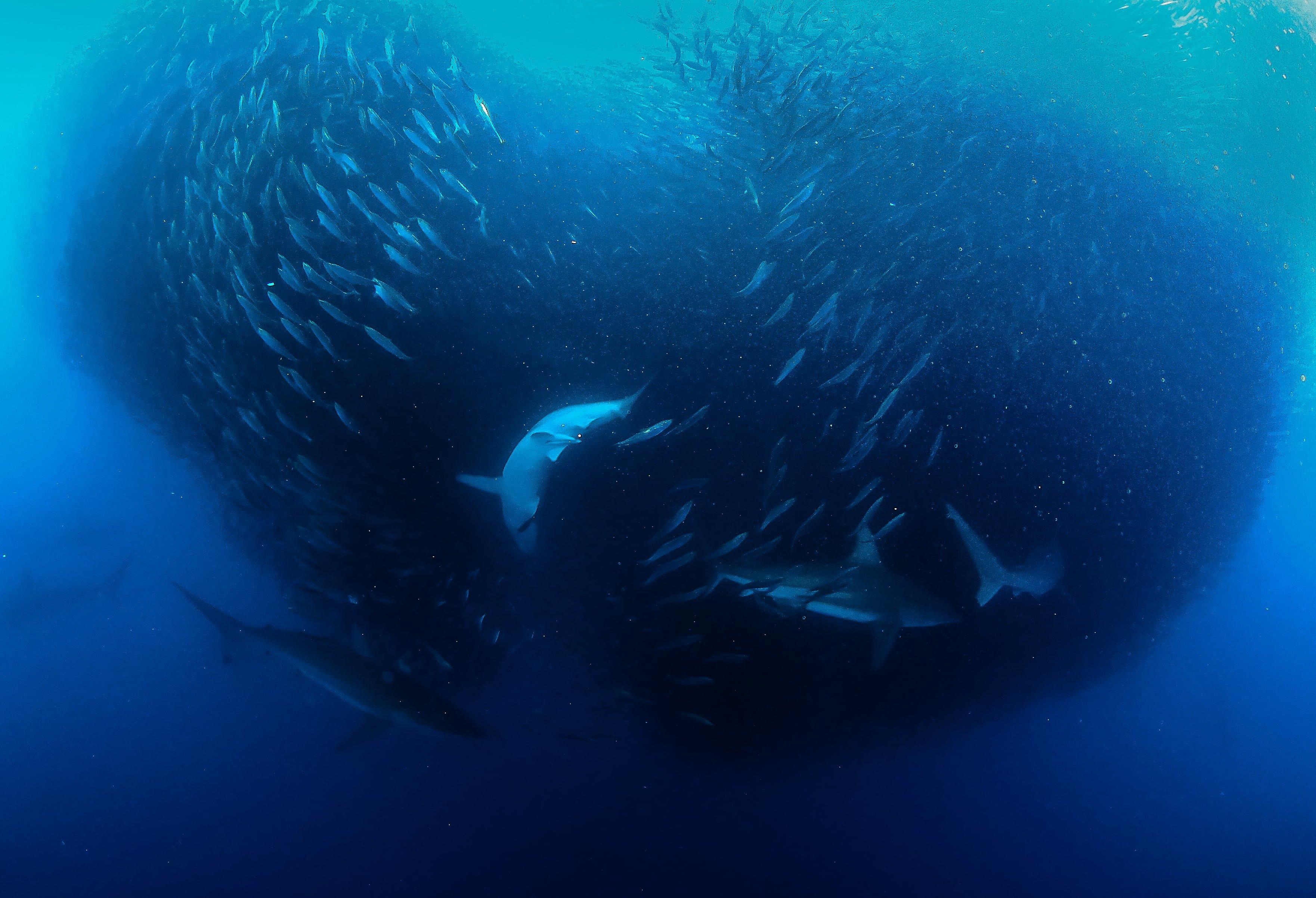 EGYPTE  Spécial dauphins de Mer Rouge
